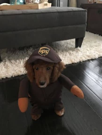 Remus Boxley's dog Sophie dressed as a UPS worker for Halloween.